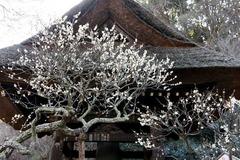 110216東慶寺ウメ