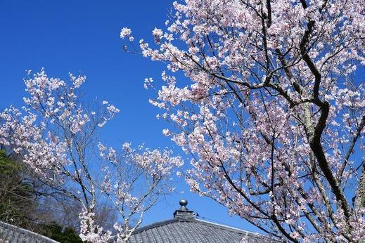 150325東慶寺ヒガンザクラ