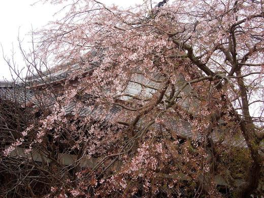 210325本覚寺シダレザクラ