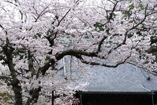 140402妙本寺サクラ