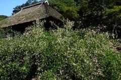140912海蔵寺ハギ2