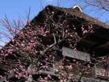 050211海蔵寺紅梅