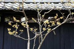 110202東慶寺マンサク