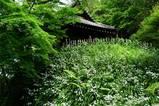 060505妙本寺シャガ