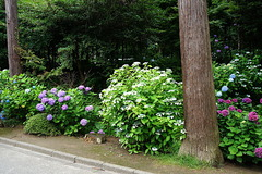 190625円覚寺アジサイ1