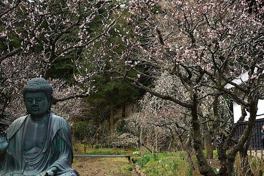 170312東慶寺ウメ1