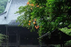 140705妙本寺ノウゼンカズラ