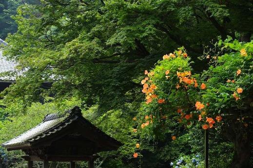140716妙本寺ノウゼンカズラ2