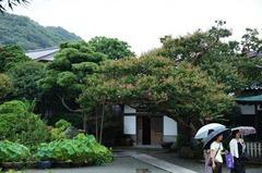 110730本覚寺サルスベリ