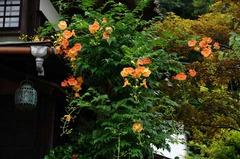 120715海蔵寺ノウゼンカズラ