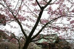 1002長谷寺河津桜