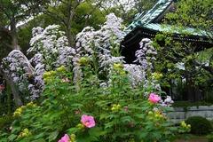 131010海蔵寺シオン1