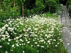 100512龍宝寺フランス菊