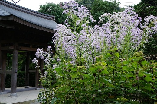 151018海蔵寺シオン