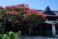 140820本覚寺サルスベリ2