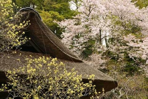 090405東慶寺サクラ