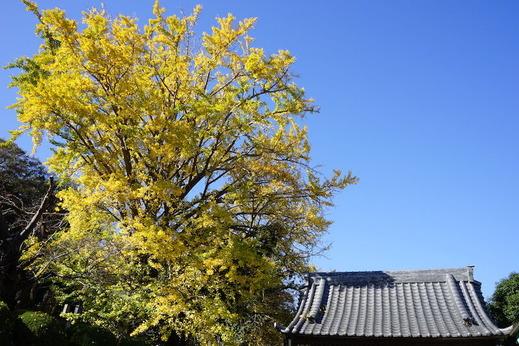 201123長勝寺イチョウ