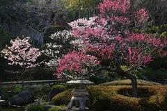 140312長谷寺河津桜
