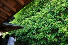 100602東慶寺イワガラミ2