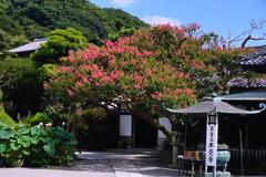 150810本覚寺サルスベリ1