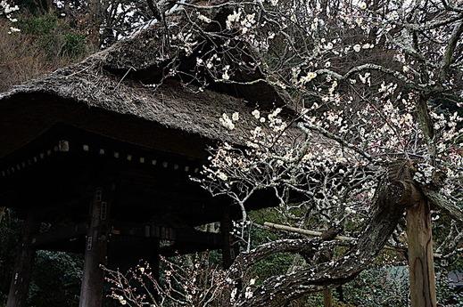 180226東慶寺ウメ3