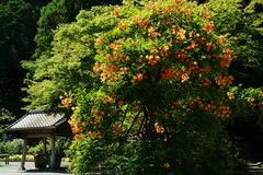 180630妙本寺ノウゼンカズラ2
