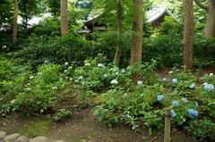 110702鎌倉宮アジサイ3