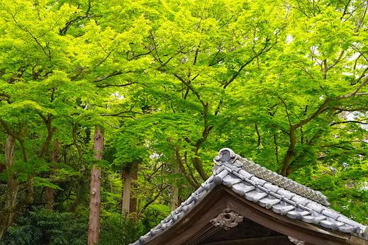 210412妙本寺新緑1