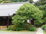 050528浄光明寺菩提樹