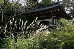 150930浄智寺ススキ