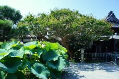 150727本覚寺サルスベリ