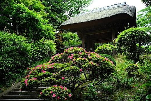 150229円覚寺サツキ1