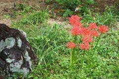 101009瑞泉寺ヒガンバナ