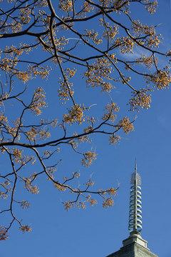 081210本覚寺センダン