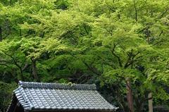 120417妙本寺新緑2