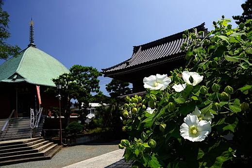 200825本覚寺フヨウ