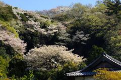 170413円覚寺サクラ2