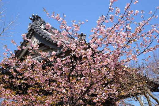 160228本覚寺カワヅザクラ