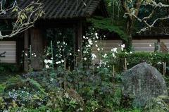 121029瑞泉寺シュウメイギク2