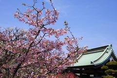 140312長谷寺河津桜2