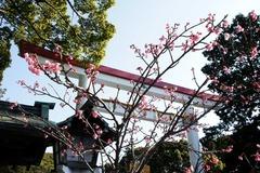 110129鎌倉宮カンヒザクラ