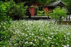 140501妙本寺シャガ1