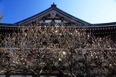 140129円覚寺ウメ1