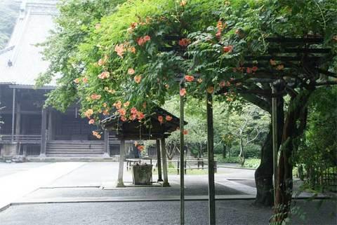 090725妙本寺ノウゼンカズラ