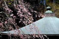 150325東慶寺シダレザクラ
