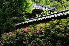 160529浄智寺サツキ2