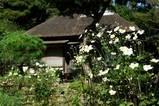 091014浄智寺シュウメイギク