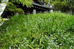 120422妙本寺シャガ