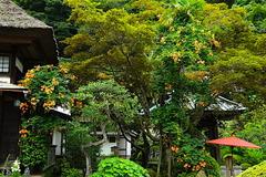 160706海蔵寺ノウゼンカズラ1