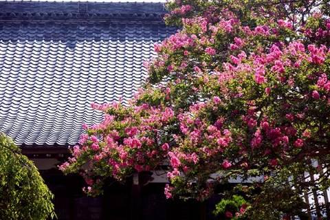 090816本興寺サルスベリ